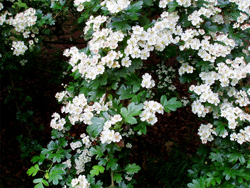 Hump day herbs hawthorn for Indian food hawthorne
