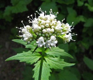 Hump Day Herbal Magic – VALERIAN « PagansWorld org